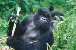Silver_back_gorilla_-_Gorilla_beringei
