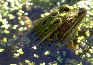 Green-leopard-frog-in-swamp